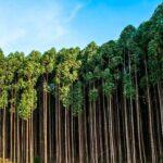 Madeira de Reflorestamento: Conheça 6 tipos